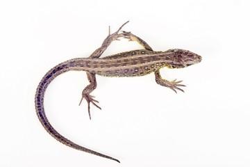 Female Sand Lizard (Lacerta agilis)