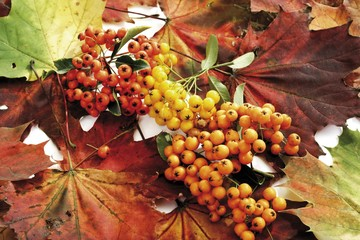 Firethorn berries (Pyracantha) with colourful autumn leaves