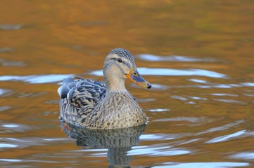 Mallard Duck (Anas platyrhynchos), mixed breed resembling a domestic mire duck