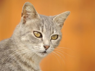 Young grey tabby cat, portrait
