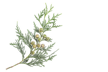 Thuja twig with fruit on a white Green Thuja twig withunripe fruit.