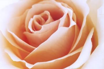 Salmon-coloured Floribunda rose