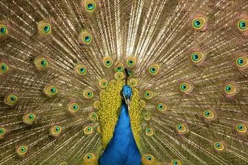 Peafowl, Peacock (Pavo cristatus)