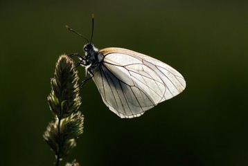 Black-veined White Butterfly (Aporia crataegi) on a blade of grass, Mindelheim, Bavaria, Germany, Europe