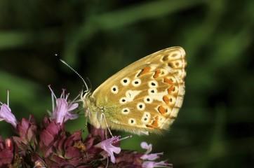 Chalkhill Blue, Lysandra coridon, female