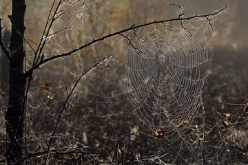 Spiderweb with dewdrops - cross orbweaver - cross spider - european garden spider (Araneus diadematus)