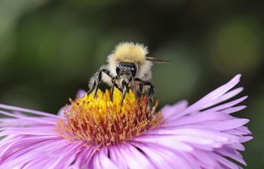 European Honey Bee or Western Honey Bee (Apis mellifera) sitting on an Aster flower (Aster) drinking nectar