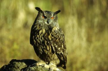 Eurasian Eagle Owl (Bubo bubo), horned owl family, sunbathing in a quarry