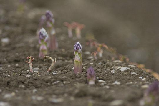 Asparagus Cultivation