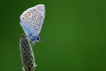 Idas Blue (Lycaeides idas), Mindelheim, Allgau, Bavaria, Germany, Europe