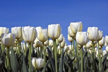 White Tulips (Tulips), Silent Peace cultivar, variety