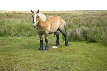 Stallion with legs blackend by moor