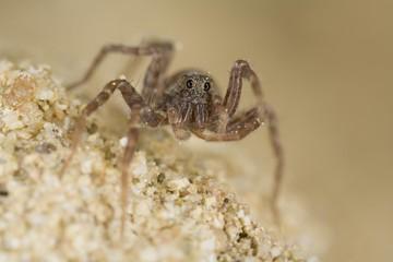 Wolf spiders (Pardosa lugubris)