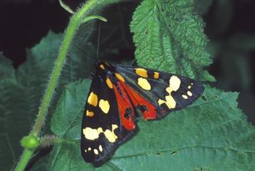 Jersey tiger moth (Panaxia dominula)