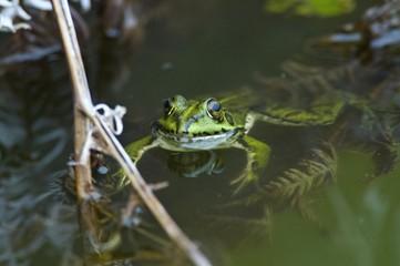 Iberian Frog or Rana Patilarga (Rana iberica), Azores, Portugal, Atlantic Ocean, Europe