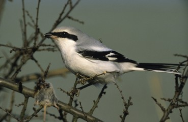 Great grey shrike (Lanius excubitor) with pierced mouse