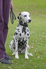 Dalmatian sitting next to owner