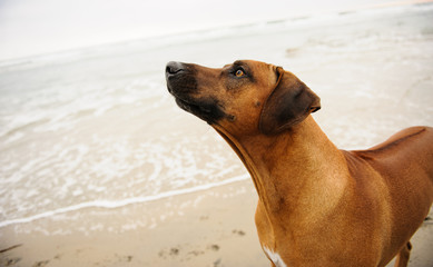 Rhodesian Ridgeback dog outdoor portrait against water and sand