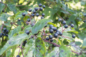 Black berries in detail with green leaves.