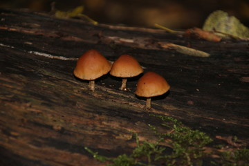 Mushrooms in a dutch forest during autumn