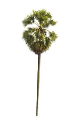 isolate sugar palm on white background
