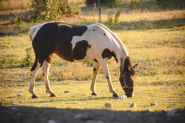 Grazed mare at the pasture