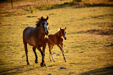 Giumenta and Puledro gallop to the pasture