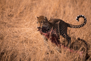 Leopard on the ground  with his Prey