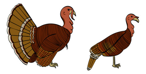 Male and Female North American Turkey