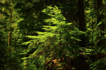 a picture of an Pacific Northwest forest with a young Douglas fir tree