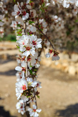 White almond  flowers on vertical branch