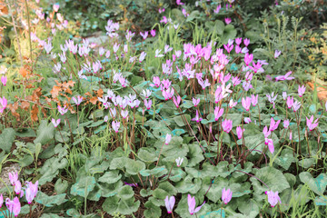A large with a wild cyclamen