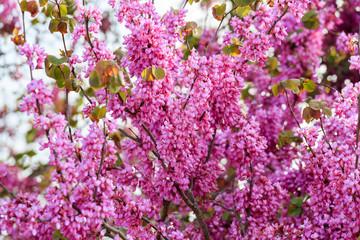 Flowers on Judas tree ..in Judea at Har Hebron