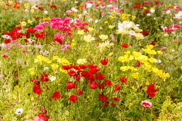 Field of ripe multi-colored anemones