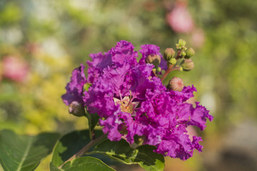 Lagerstroemia speciosa, beautiful purple flowers with the leaves with blurred natural background