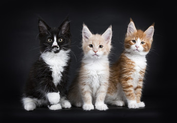 Row of three maine coon cat kittens isolated on black background facing camera
