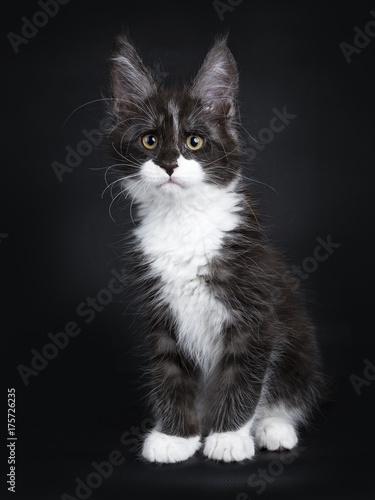 Black smoke maine coon cat kitten sitting isolated on black