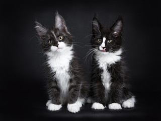 Two Maine coon cat kittens sitting together isolated on black background