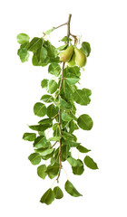 Branch with pears on white background