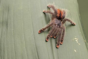 Pink Toe Tarantula. Resting on a jungle leaf.  Focus on the eyes. room for copy.