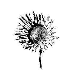 black and white hand drawn sunflower on white background