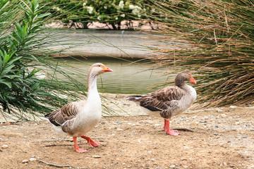 Closeup shot of big adult geese