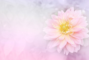 soft pink dahlia flower background with copy space idea for wedding card, valentine, or any special events