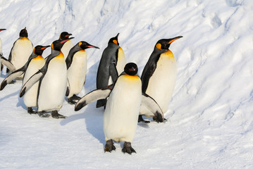 King penguins walking on the snow in Hokkaido,Japan.