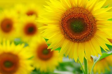 close-up sunflower in a field
