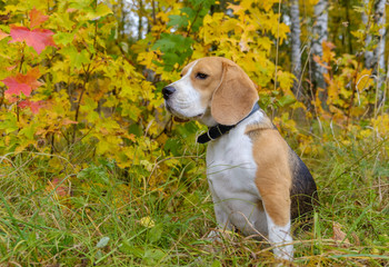 Beagle dog on a background of autumn forest
