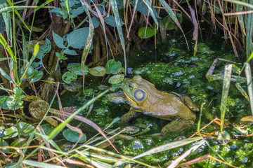 Frog hidding in leafy pond