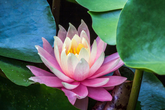 Pink water lilly flower among green leaves