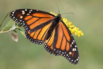 Fotoväggar - Female Monarch Butterfly (danaus plexippus)