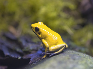 Black legged or Bi-Coloured Poison Dart Frog (Phyllobates bicolor) one of the most poisonous of the South American frogs